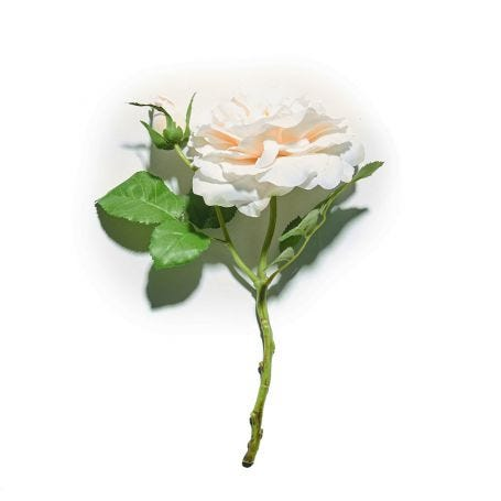 Rosa Vanilla